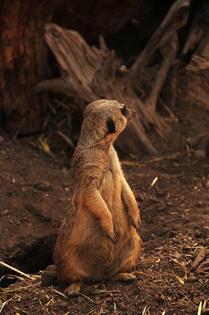 Suricate, Meerkat, Africa, African Animal