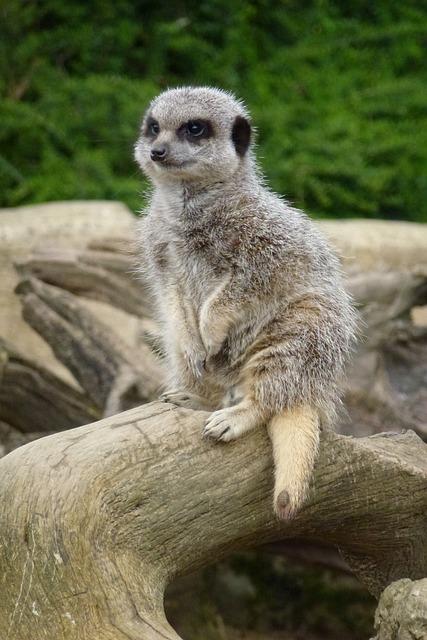 Meerkat, Cotswold Wildlife Park, Waiting, Look Out