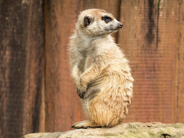 Meerkat, Zoo, Nature, Animals, Sit