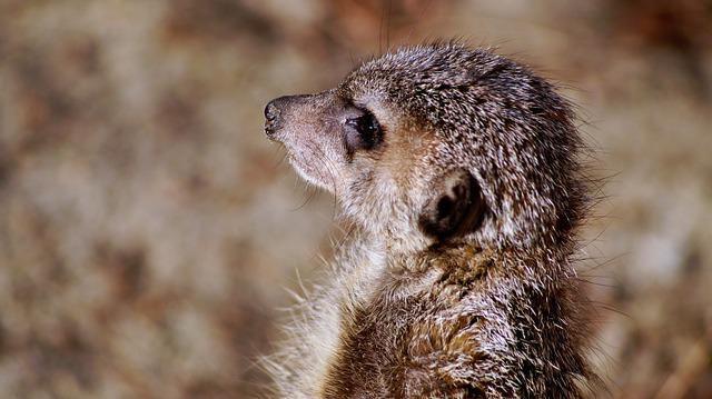 Meerkat, Timon, Nature, Zoo, Animal, Animals, Mammal