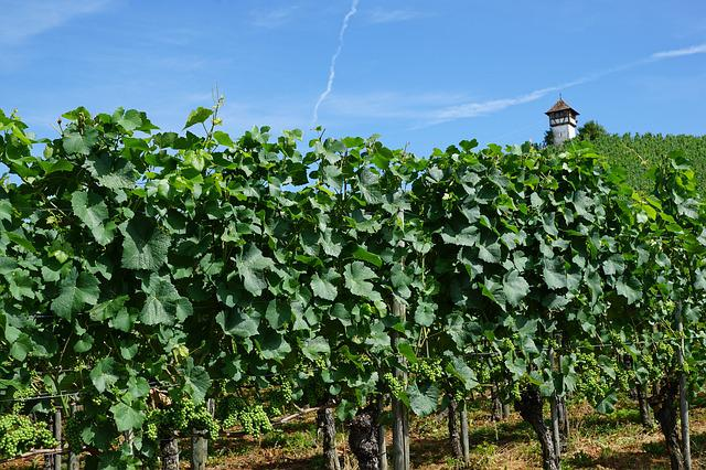 Vineyard, Meersburg, Lake Constance, Nature, Sky