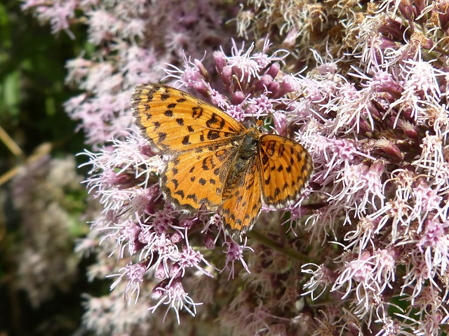 Melitaea Deione, Butterfly, Damer Dels Conillets