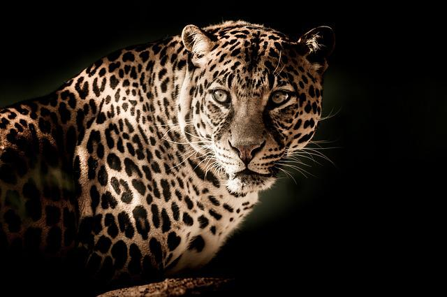 Leopard, Close, Eyes, Menacing