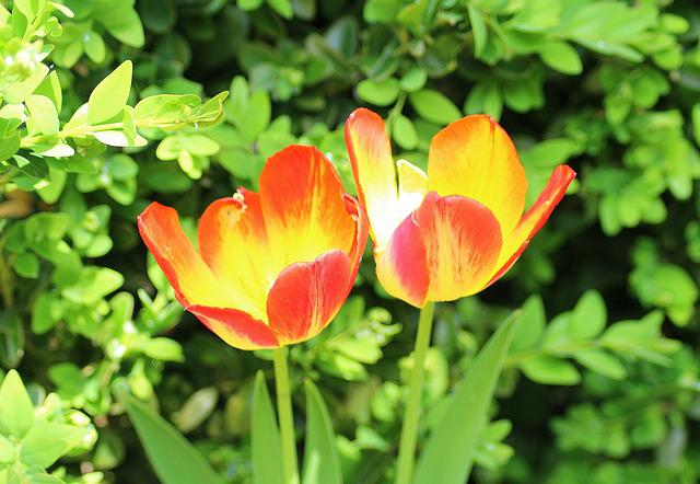 Tulips, Two, Spring, April, Menopause, Spring Flowers