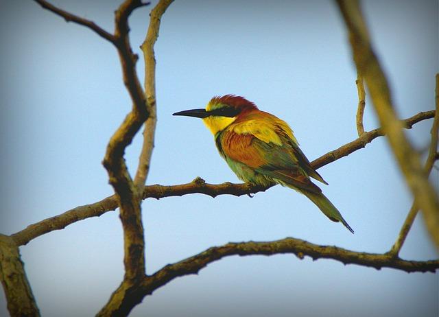 European Bee-eater, Merops Apiaster, Bird, Birds