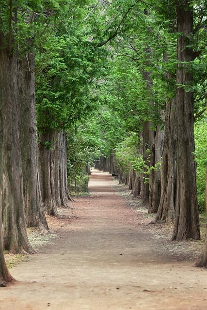 Metasequoia, Meta Sequoia, Meta Sequoia Trees