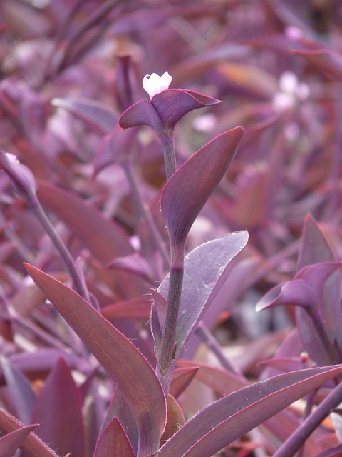 Mexican Dreimasterblume, Three Master Flower, Blossom
