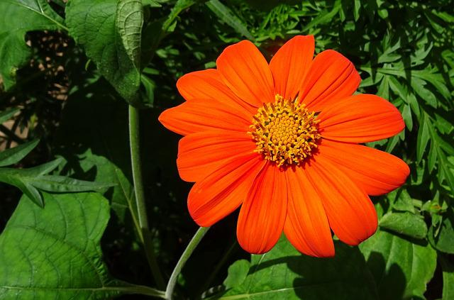Flower, Mexican Sunflower, Tithonia, Japanese Sunflower