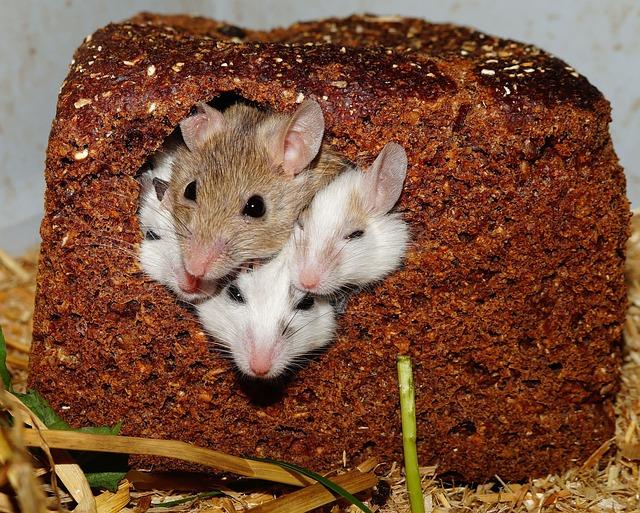 Mastomys, Mice, Nager, Rodents, Pets, Africa, Savannah