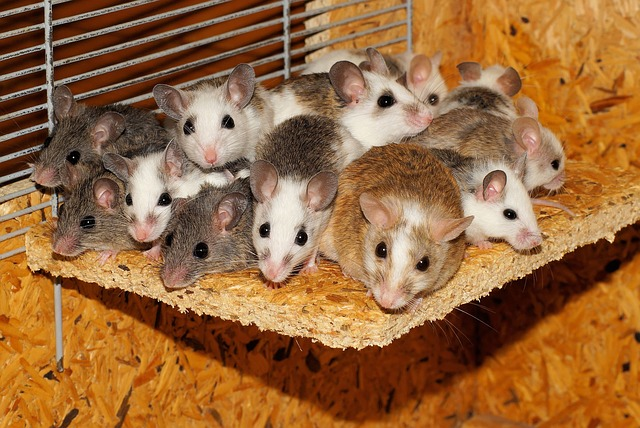 Mice, Mastomys, Family, Together, Security, Community