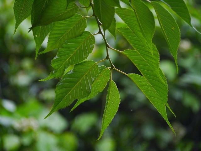 Sakura, Cherry, Leaf, Green, Midori, Arboretum, Woods