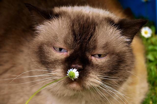 British Shorthair, Cat, Animal World, Mieze