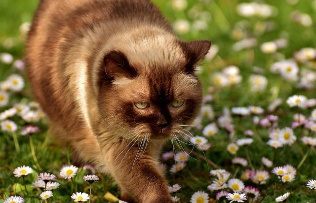 British Shorthair, Cat, Mieze, Thoroughbred, Fur