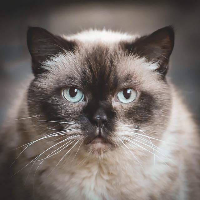 British Shorthair, Cat, Cute, Domestic Cat, Mieze