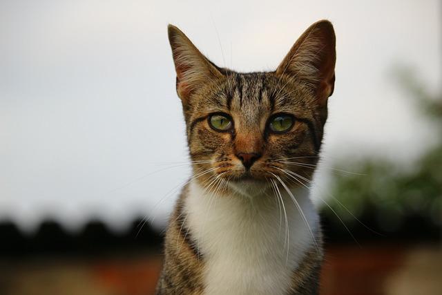 Cat, Kitten, Mieze, Mackerel Tabby, Domestic Cat