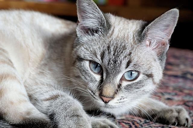 Cat, Domestic Cat, Kitten, Mieze, Mackerel, Pet