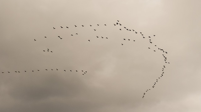 Swarm, Flock, Birds, Migratory Birds, Migration, Nature