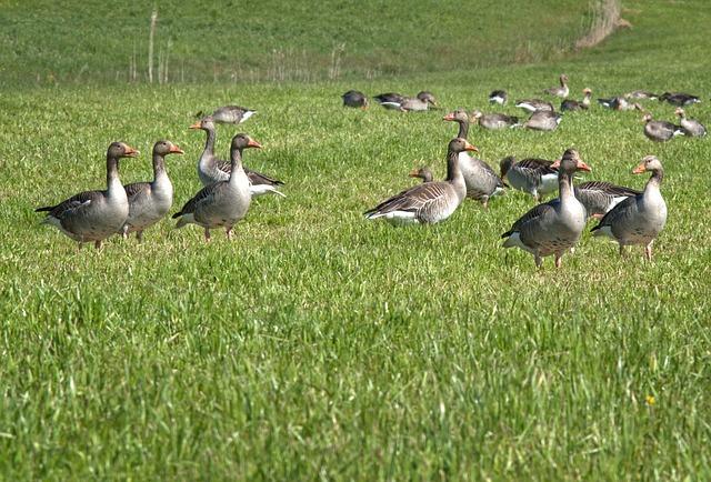Grey Geese, Migratory Bird, Nature, Geese
