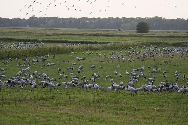 Cranes, Migratory Birds, Animal World