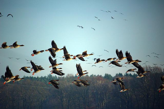 Wild Geese, Flock Of Birds, Winter, Migratory Birds