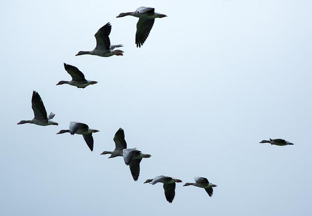 Formation, Migratory Birds, Geese, Wild Geese