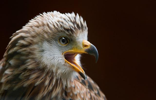 Milan, Bird, Raptor, Bird Of Prey, Red Milan, Animal
