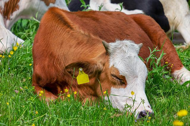 Cow, Animal, Brown White, Pasture, Meadow, Milk Cow