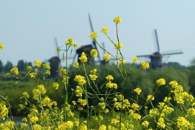 Rapeseed, Background, Mills, Kinderdijk, Landscape