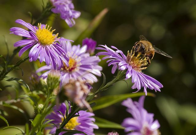 Aster, Hoverfly, Mimicry, Violet, Autumn, Garden