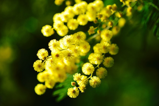Mimosa, Côte D'azur, Flower, Yellow, Provence