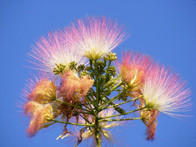Albizia, Blue, Fluffy, Julibrissin, Mimosa, Persian