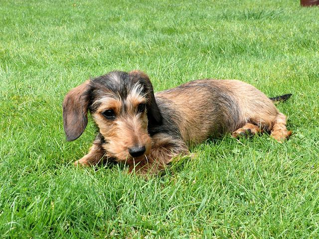 Miniature Dachshund, Dachshund, Dog, Pet, Animals