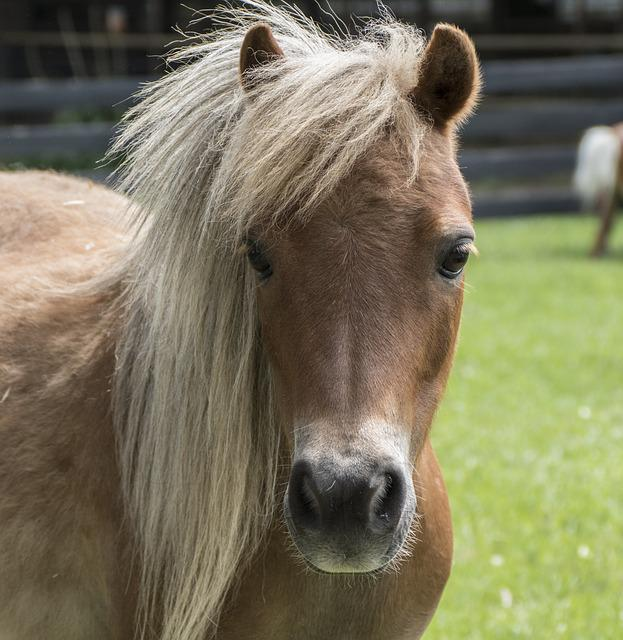 Miniature Horse, Horse, Mini, Farm