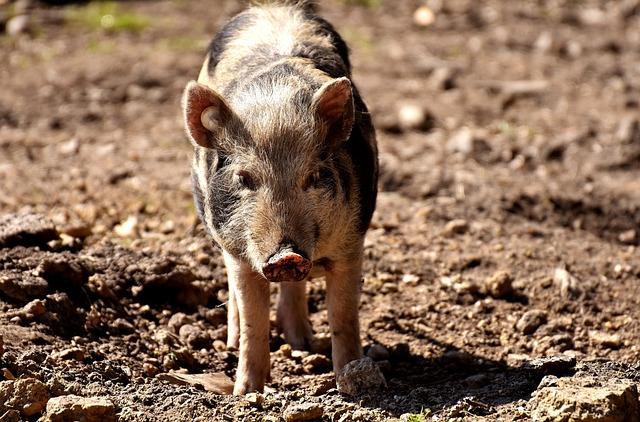 Miniature Pig, Pig, Animal, Piglet, Animal World, Dirty