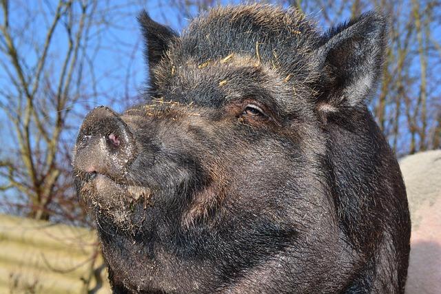 Boar, Wild Boar, Miniature Pig, Pig, Animal, Creature