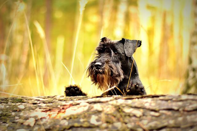 Miniature Schnauzer, Black, Dog, Schnauzer