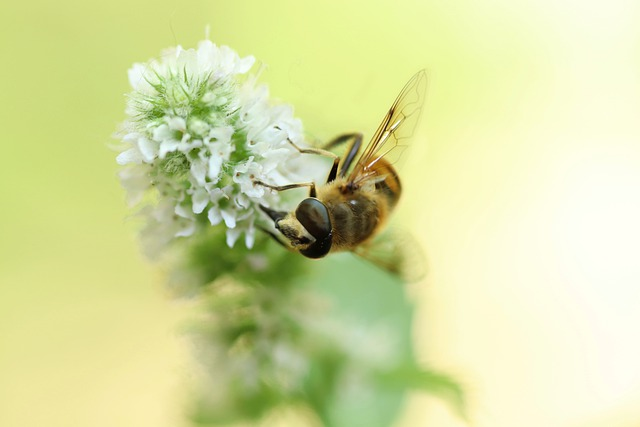 Hoverfly, Insect, Hornet Hover Fly, Minzblüte, Blossom