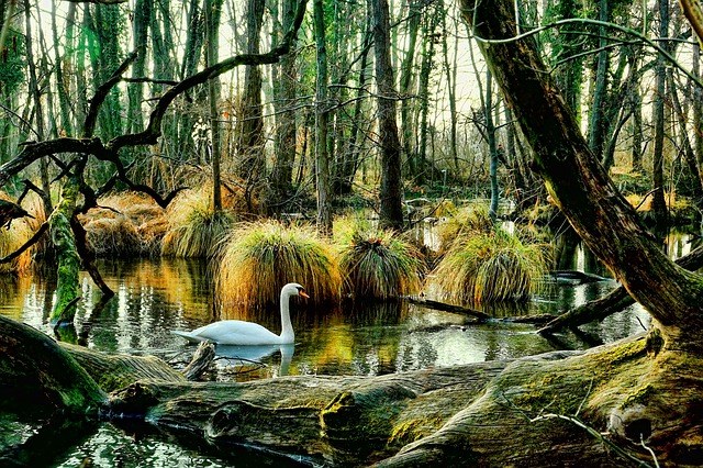 Swan, Wood, Nature, Tree, Leaf, Waters, Mirroring