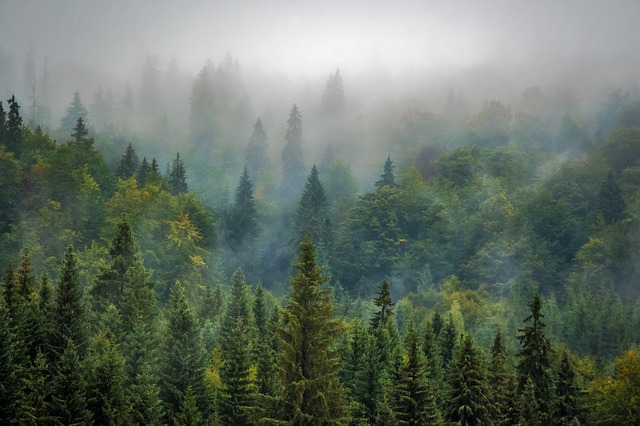 Trees, Forest, Fog, Foggy, Haze, Mist, Misty, Conifers