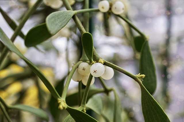 Mistletoe, Customs, Plant, Christmas, Green, Evergreen