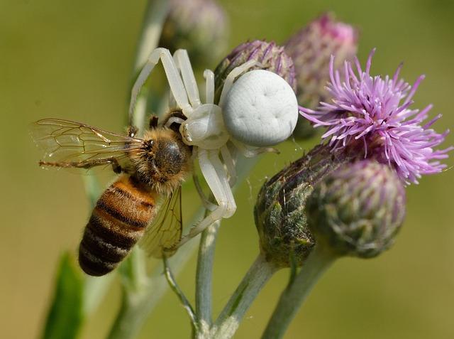 Araneae, Thomisidae, Misumena Vatia, Prey, Apis