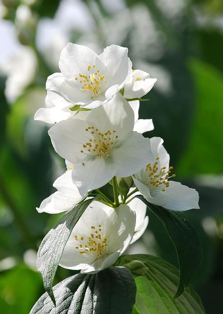 Syringa Vulgaris, Mock Orange, Flower, Shrub, Close-up