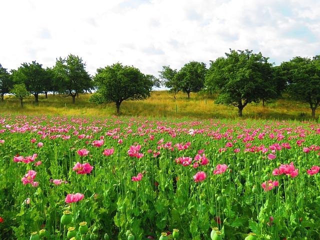 Poppy, Pink, Blossom, Bloom, Mohngewaechs, Poppy Flower