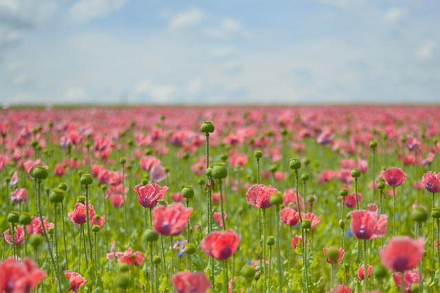 Poppy, Field Of Poppies, Mohngewaechs