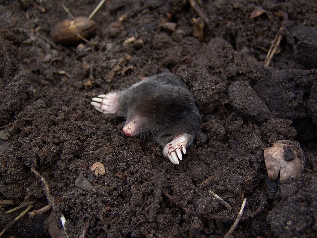 Nature, Animal, Mole, Rodent, Mammal, Molehill