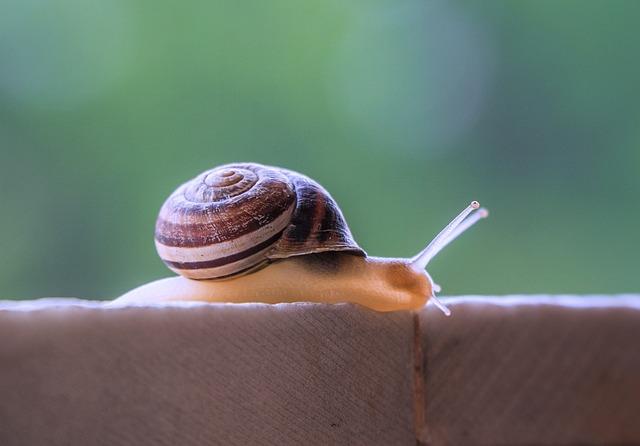 Snail, Gastropod, Molluscum, Invertebrate, Shell