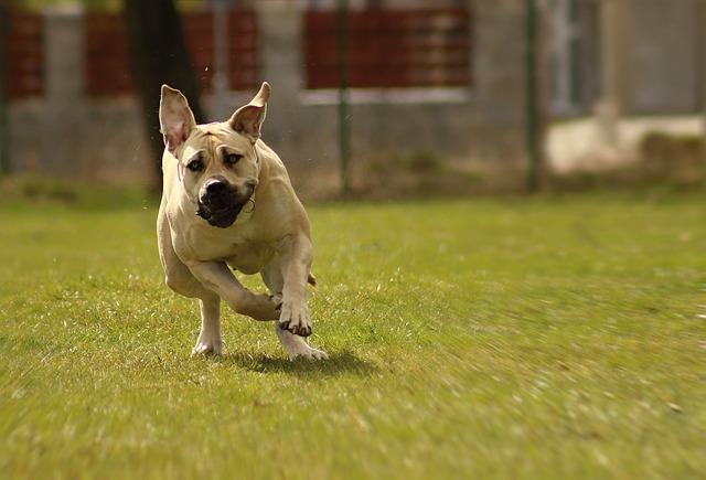 Boerboel, Dog, Peanut Bulldog, Ballotade, Moloss