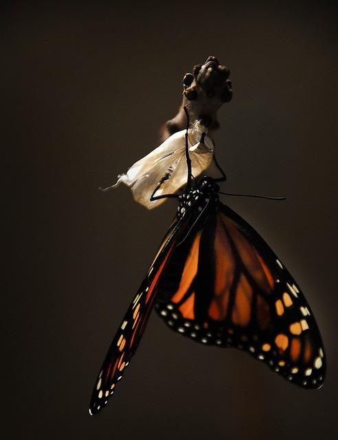 Butterfly, Monarch, Monarch Butterfly, Insect, Nature
