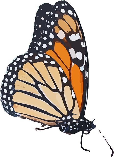 Monarch Butterfly, Danaus Plexippus, Milkweed Butterfly