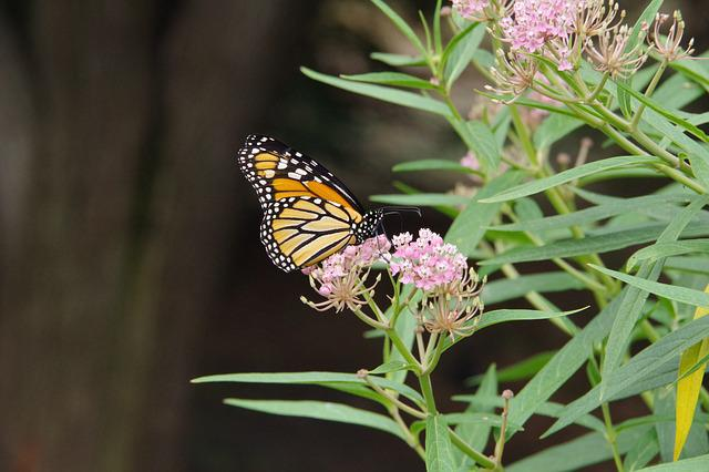 Monarch, Butterfly, Milkweed, Flower, Transformation